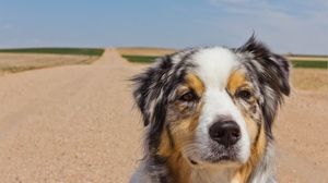 Preview wallpaper australian shepherd, dog, muzzle, road, spotted