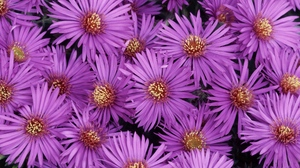 Preview wallpaper asters, close-up, flowers, petals, purple