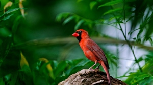 Preview wallpaper branch, red bird, sitting, wings