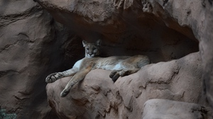 Preview wallpaper cougar, funny, puma, rock