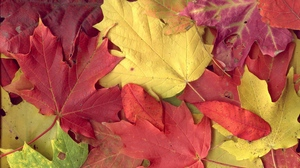 Preview wallpaper autumn, leaves, maple, red, veins, yellow