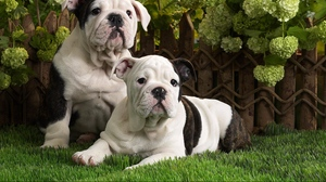 Preview wallpaper black, brindle, bulldog, couple, dogs, grass, lie, white