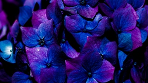 Preview wallpaper bloom, blue, flowers, hydrangea, inflorescence