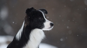 Preview wallpaper border collie, dog, snow, spotted