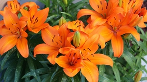 Preview wallpaper bright, flowers, lily, orange