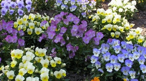 Preview wallpaper bright, colorful, different, flowerbed, flowers, pansies