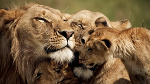 Preview wallpaper caring, cub, lion, sweet, tender