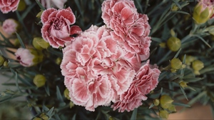 Preview wallpaper carnations, flowers, pink