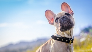 Preview wallpaper collar, dog, french bulldog