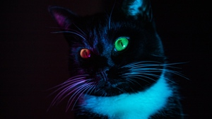 Preview wallpaper cat, colorful, eyes, heterochromia, view