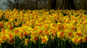Preview wallpaper daffodils, flowers, many, plant