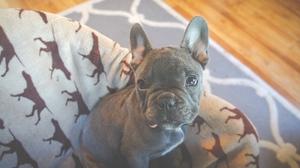 Preview wallpaper dog, french bulldog, muzzle, puppy