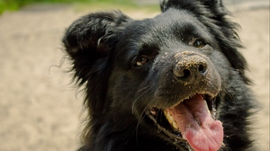 Preview wallpaper dog, muzzle, playful, protruding tongue, sand