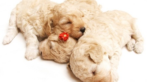 Preview wallpaper curly, dog, holiday, puppies, sleeping