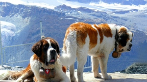 Preview wallpaper dogs, mountains, rescuers, snow, st bernards