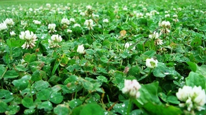 Preview wallpaper after rain, clover, drops, leaves