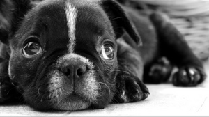 Preview wallpaper black white, bulldog, dog, eyes, face, puppy, sadness
