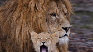 Preview wallpaper caring, cry, cub, family, lion, mane
