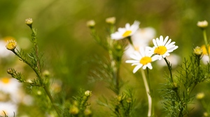 Preview wallpaper daisies, field, flowers, nature