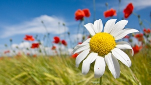 Preview wallpaper clouds, daisy, field, flowers, mood, sky, summer