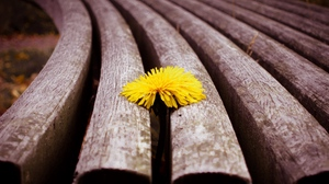 Preview wallpaper bench, dandelion, flower, sprouted, wood
