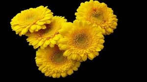 Preview wallpaper black background, flower, gerbera, yellow