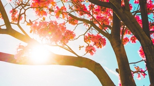 Preview wallpaper branches, flowers, sun, sunlight, tree