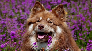 Preview wallpaper dog, ears, face, flowers, waiting