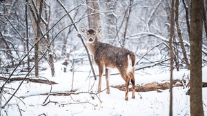 Preview wallpaper deer, forest, snow, trees