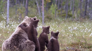 Preview wallpaper bears, cubs, family, grass