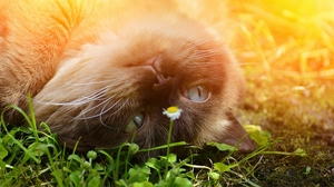Preview wallpaper british shorthair, cat, grass, lying, muzzle, playful