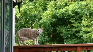 Preview wallpaper cat, climbing, house, rails