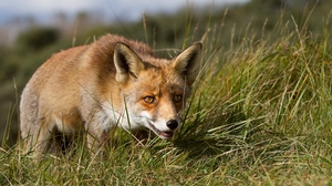 Preview wallpaper eyes, fox, grass, hunting, muzzle