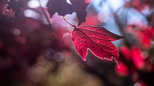 Preview wallpaper glare, leaf, light, macro, red