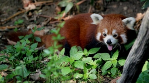 Preview wallpaper leaves, lie, red panda, trees