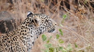 Preview wallpaper leopard, muzzle, predator