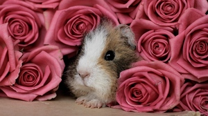 Preview wallpaper guinea pig, peep, pink, rodent