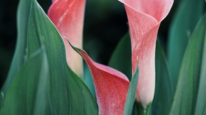 Preview wallpaper calla lilies, close-up, flowers, pink, plant