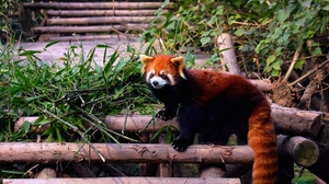 Preview wallpaper building, climbing, leaves, red panda, stairs