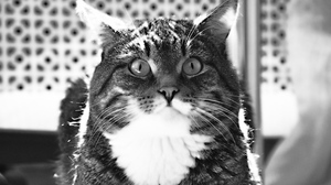Preview wallpaper black and white, cat, down, fat, floor, room, wool