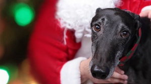 Preview wallpaper christmas, dog, muzzle, sadness