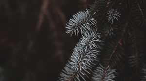 Preview wallpaper blur, branches, spruce, white