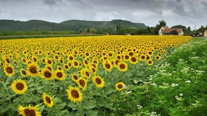 Preview wallpaper field, flowers, sunflowers, village