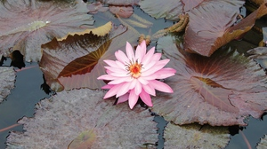 Preview wallpaper beauty, leaves, lily, pink, swamp, water
