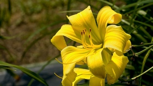 Preview wallpaper blurred, close-up, flower, lily, stamen, yellow