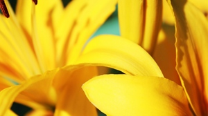 Preview wallpaper flowers, petals, stripes, yellow