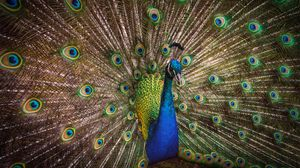 Preview wallpaper bird, bright, feathers, pattern, peacock