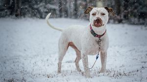 Preview wallpaper collar, dog, pit bull terrier, snow