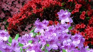 Preview wallpaper azaleas, bright, colorful, flowering