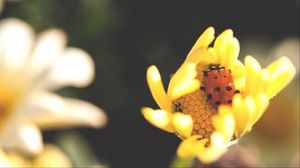 Preview wallpaper flower, insect, ladybird